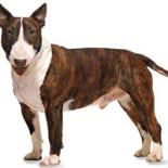 Бойцовские породы собак: характеристика, особенности воспитания