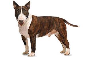 Самые популярные бойцовые породы собак фото