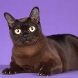 Бурманская кошка: содержание, гигиена