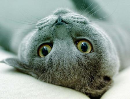 русская голубая кошка особенности породы