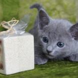 Русская голубая кошка: содержание в домашних условиях