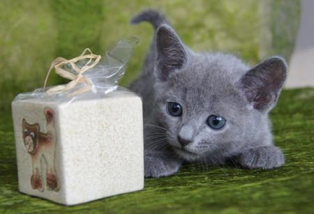 русская голубая кошка характер привычки