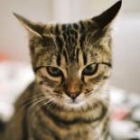 Симптомы, причины и лечение микоплазмоза у кошек