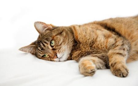 Болезни, провоцирующие рвотные рефлексы у кошек