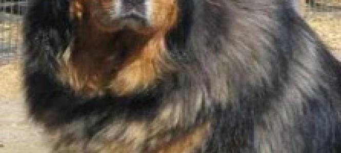 Кавказская овчарка: характеристика породы, воспитание