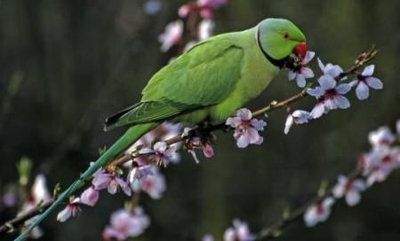 Как содержать ожереловых попугаев