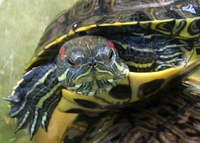 Частые ошибки содержания красноухих черепах
