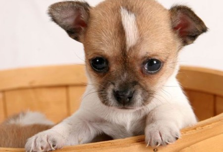 чихуахуа чем кормить кормление питание уход мини щенка правильно