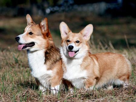 Корги порода собак сторожевая