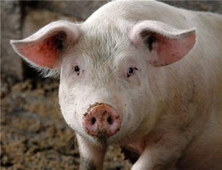 Беконная группа свиней