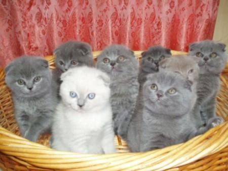 Выбор шотландских котят