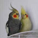 Карела попугай: правильное питание, содержание и уход