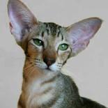 Ориентальные кошки: история, виды, характер, уход