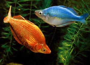 Содержание и уход за аквариумными рыбками гуппи