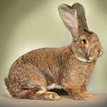 Кролики породы фландр: содежание и разведение в домах и квартирах