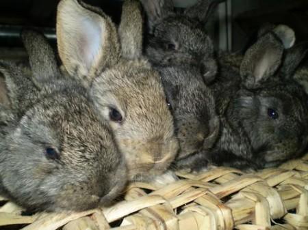 История породы кроликов фландр