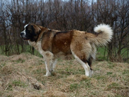 Сторожевые собаки