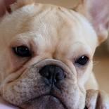 Особенности содержания, характеристика и поведение собак породы французский бульдог
