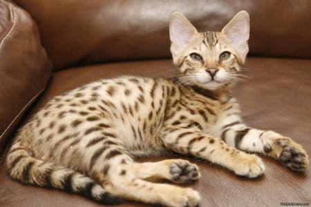 Самый большой кот саванна
