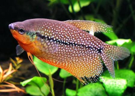 Аквариумная рыбка гурами
