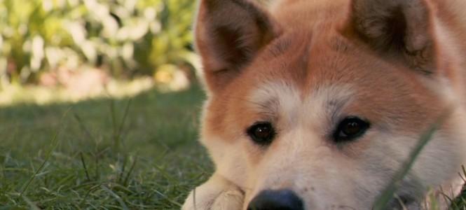 Акита-ину: порода верного пса Хатико