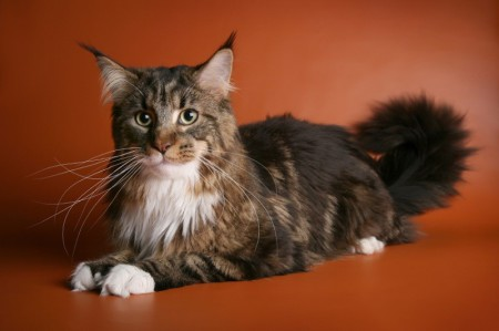 Особенности породы кошек мейн-кун