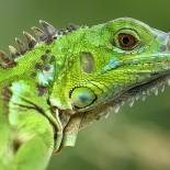 Игуана: виды, особенности содержания в домашних условиях