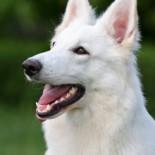 Особенности и характеристика породы собак белая швейцарская овчарка