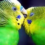 Почему линяет волнистый попугай и как облегчить этот процесс?