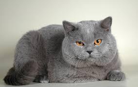 Возникновение и развитие британской кошки
