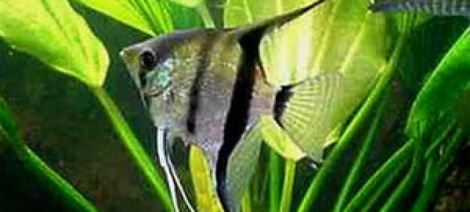 Аквриумные рыбки скалярии: содержание в домашних условиях