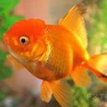 Уход за золотыми рыбками: обстановка в аквариуме, вода, кормление