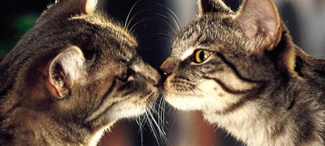Правильная вязка кошек и котов: знакомство, спаривание и особенности гигиены