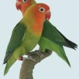 Попугаи неразлучники: содержание в неволе, подкормка