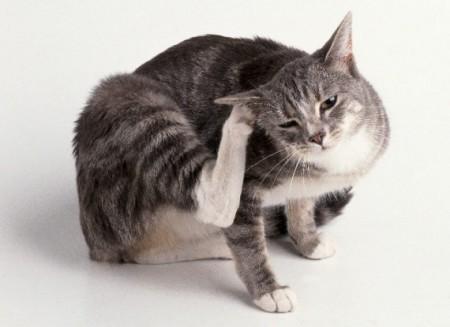 ушной клещ у кошек лечение симптомы