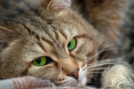 подкожный клещ у кошек признаки заболевания симптомы диагностика лечение профилактика