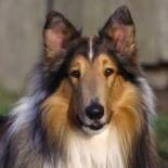Шотландская овчарка: особенности, содержание и уход за собакой