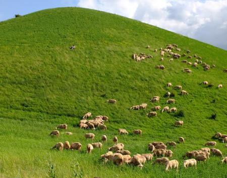 шотландская овчарка особенности породы
