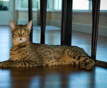 Особенности разведения кошек ашера