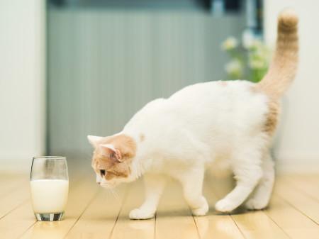 питание кошки правила молоко кефир