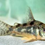 Аквариумные уборщики: рыбки сомики