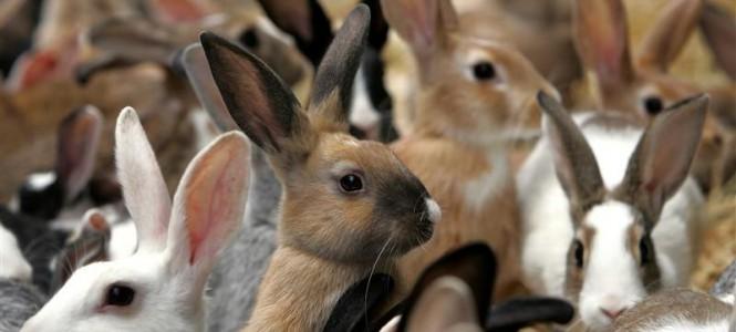 Разведение кроликов как бизнес: рекомендации