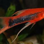 Аквариумные рыбки меченосцы: разведение, размножение, совместимость