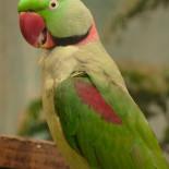Ожереловый попугай: кормление, тренировки, отзывы