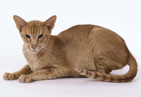 Виды окрасов ориентальных кошек
