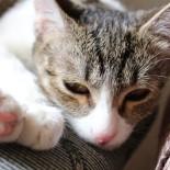 Кошачья чумка: симптомы болезни и способы лечения