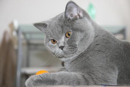 Содержание кошек с прилегающей шерстью