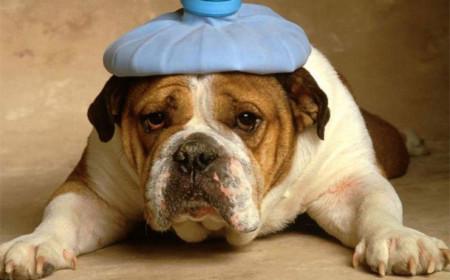 Простуда в собаки