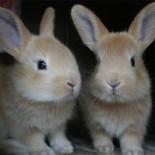 Разведение кроликов: как правильно?