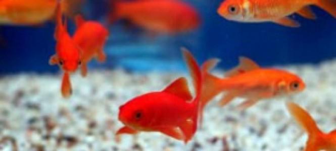 Почему умирают рыбки в аквариуме, и что делать?